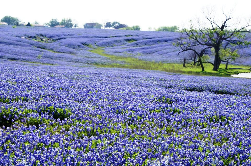 Texas Bluebonnets You Got To Be Kidding S Blog